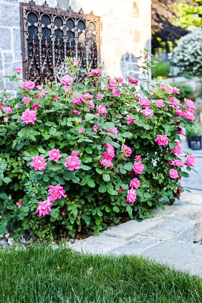 knoclout roses against stone wall