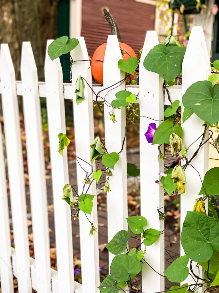 white picket fence with morning glory