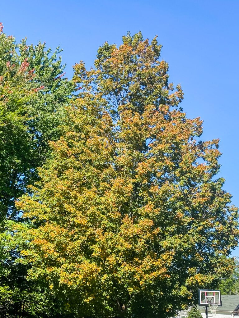 maple tree strting to turn for Fall
